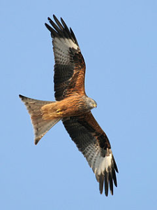 Red Kite (from Wikipedia)